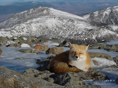 Red fox sleeping on Mount Washington, NH with Mt. Jefferson in the background.