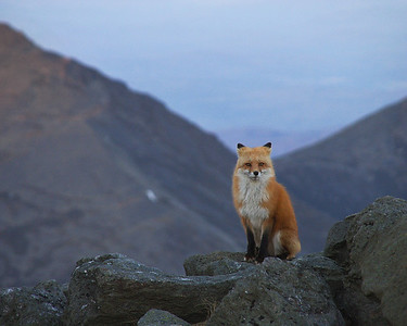 Red Fox on Mount Washington, NH with the northern Presidential's in the background.