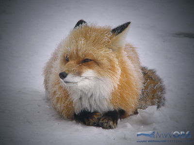 Red fox sleeping on Mount Washington as rime ice forms on its fur.