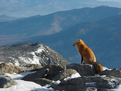Red fox sitting on Mount Washington, NH on a spring day.