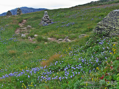 Harebells and Goldenrod in the Alpine Garden on Mount Washington, NH.