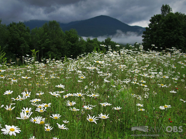 Field of Oxeye Daisies with Mt. Madison looming in the background.