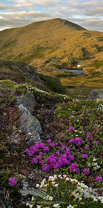 Diapensia Lappnica and Lapland Rosebay on Mt Monroe looking at Mount Washington, NH.
